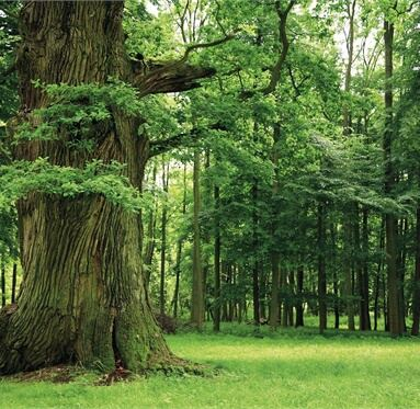 picture of a large thick tree in a lush green forest to represent Direct Timber's responsibility to the environment.