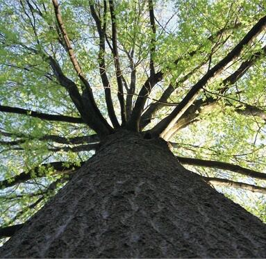 view of a large tree from its base up with the sunshine in the background to represent Direct Timber's reponsibility to the envrionment.